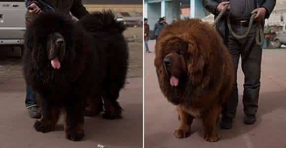 Mastim Tibetano cães mais caras