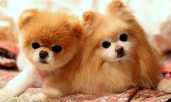 lulu da pomerania cães mais caras