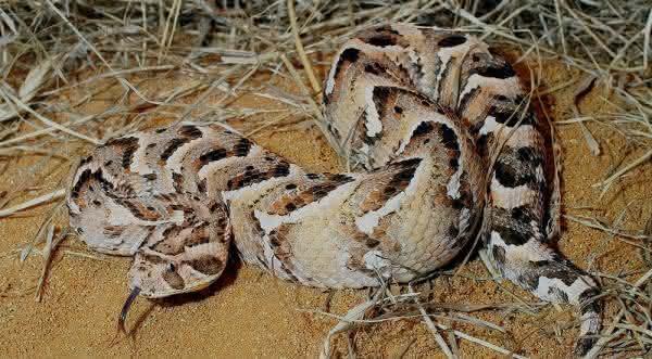Vibora cobras venenosas
