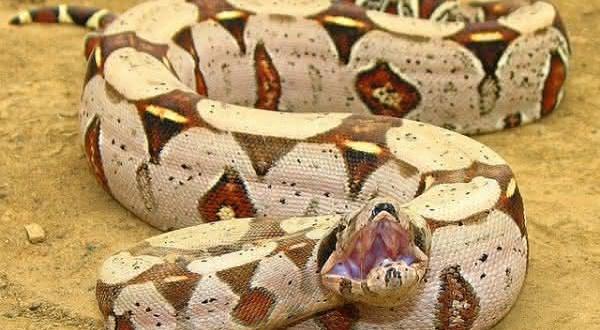 Top 10 maiores especies de cobras do mundo
