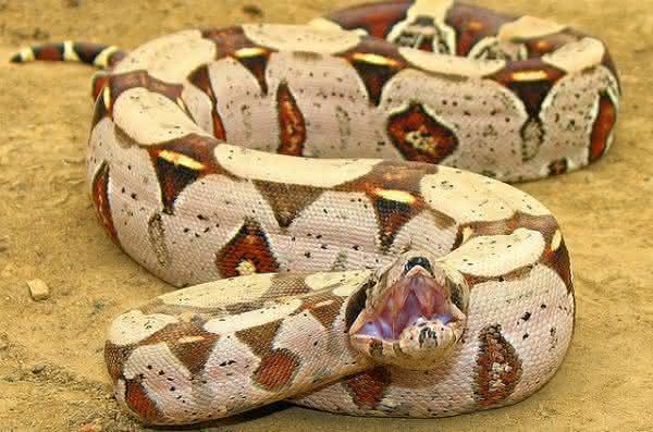 Jiboia-Constritora maiores cobras