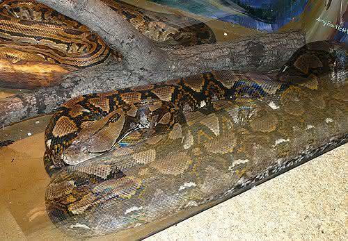 Piton-Reticulada maiores cobras