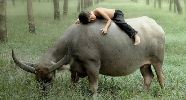 bufalo gigante é um dos animais mais perigosos