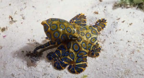 polvo de aneis azuis é um dos animais mais perigosos