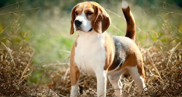 Beagle uma das racas de caes mais mansas