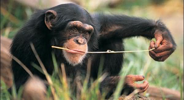 Chimpanze animais mais inteligentes