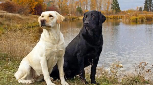 Labrador Retriever uma das racas de cachorros mais mansas