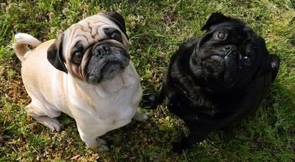 Pug uma das menores racas de cachorros do mundo
