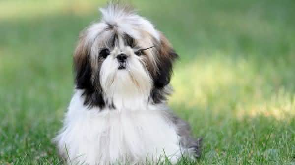 Shih Tzu entre as racas de caes menos inteligentes do mundo