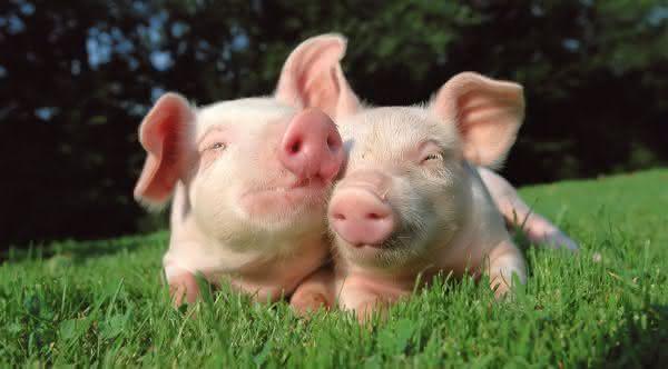 porcos mais inteligenets