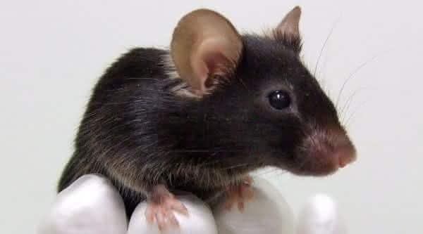 rato um dos animais mais inteligentes