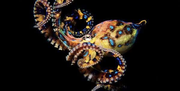 Polvo de aneis azuis um dos animais mais venenosos do mundo