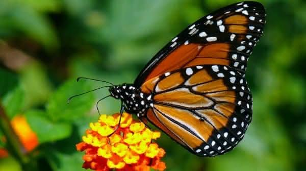 borboleta monarca animais mais ameaçados de extinção
