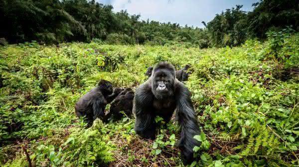 gorila das montanhas animais mais ameaçados de extinção