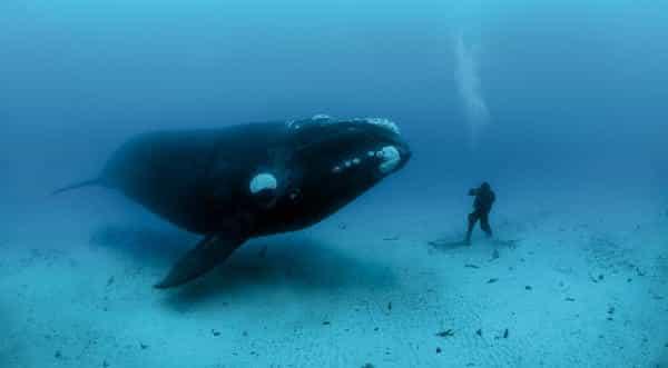 baleia da groelandia um das mais velhas do mundo