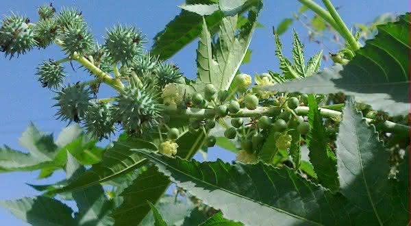 castor plant mamonas plantas mais venenosas do mundo
