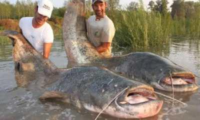 Top 10 maiores peixes de água doce do mundo