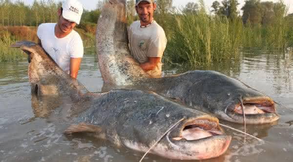 Catfish um dos maiores peixes de agua doce do mundo