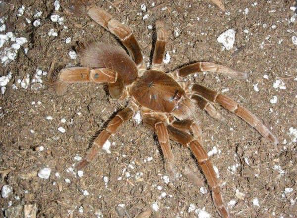 Hysterocrates gigas uma das maiores especies de aranhas do mundo