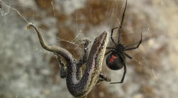 Red back aranha mais venenosa do mundo