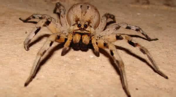 aranha lobo entre as aranhas mais venenosas do mundoaranha lobo entre as aranhas mais venenosas do mundo