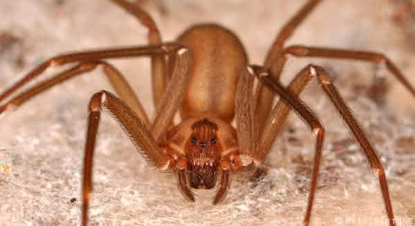 aranha marrom reclusa entre as mais perigosas