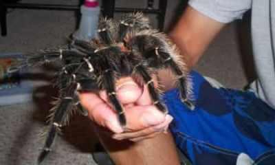 Top 10 maiores aranhas do mundo
