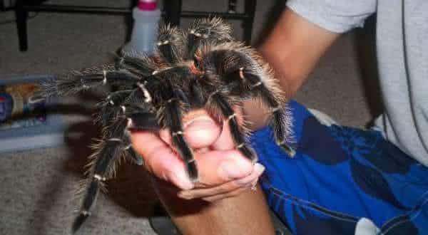 lasiodora parahybana uma das maiores especies de aranhas do mundo