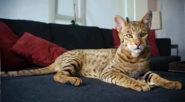 Ashera Cats entre as racas de gatos mais caras do mundo