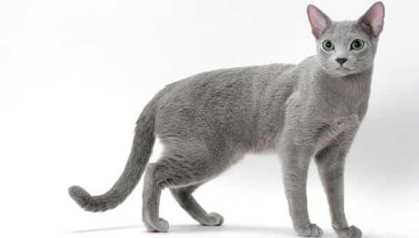 Russian Blue Cats entre as racas de gatos mais caras do mundo