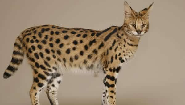 Savannah Cats entre as racas de gatos mais caras do mundo