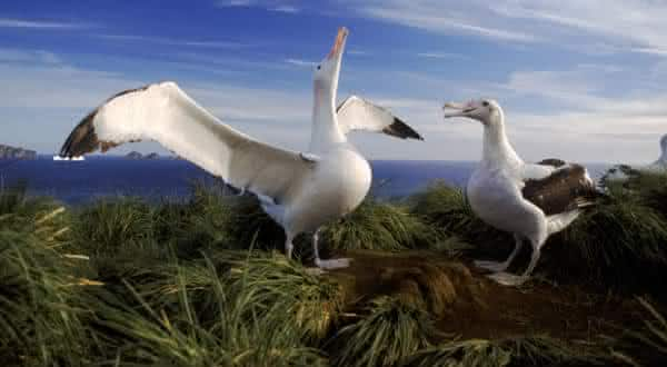 Albatroz-errante entre as maiores espécies de pássaros