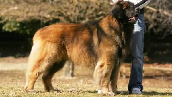 Leonberger entre as maiores raças de caes do mundo