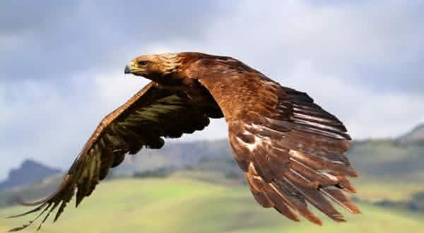 aguia real entre os animais mais fortes do mundo