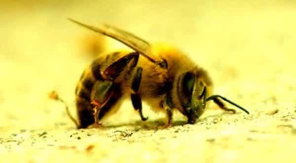 Abelhas entre os animais que mais matam pessoas
