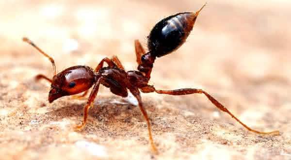 Formiga-lava-pes entre os insetos mais perigosos do mundo