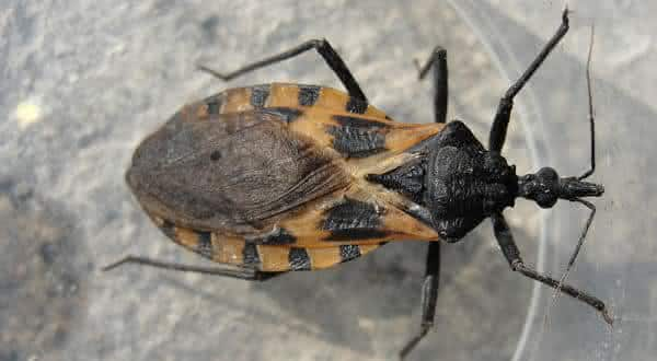 barbeiro Triatominae entre os insetos mais perigosos do mundo