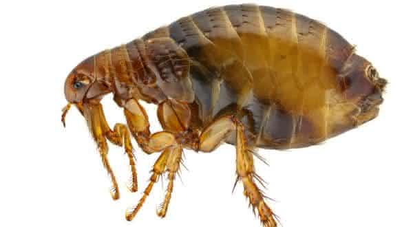 pulgas Sifonapteros entre os insetos mais perigosos do mundo