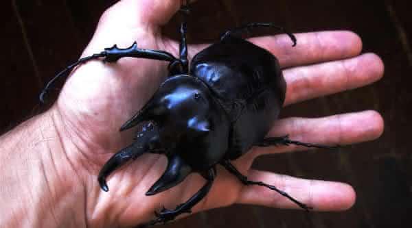 Besouro Acteon entre os maiores insetos do mundo