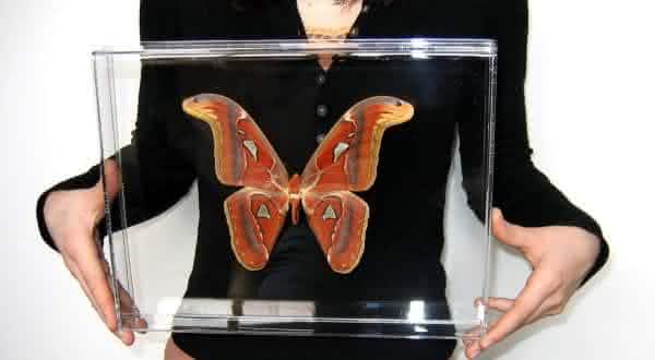 Borboleta da Rainha Alexandra entre os maiores insetos do mundo