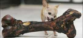 Top 10 menores raças de cães do mundo