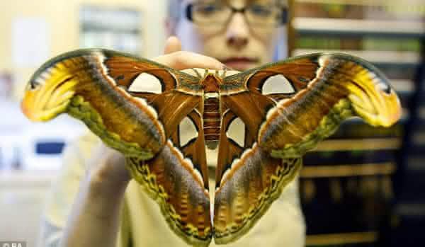 Mariposa atlas entre os maiores insetos do mundo