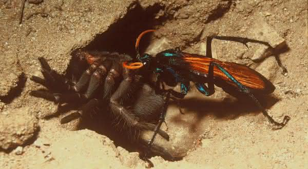 Vespa cacadora entre as picadas de insetos mais dolorosas do mundo