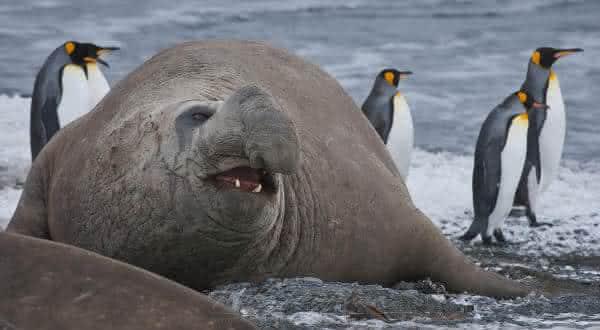 elefante marinho do sul  entre os maiores mamiferos do mundo