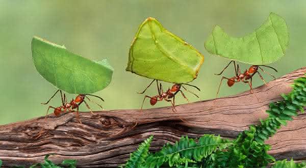 formigas cortadeiras entre os animais mais fortes do mundo