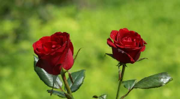 rosa entre as flores mais bonitas do mundo