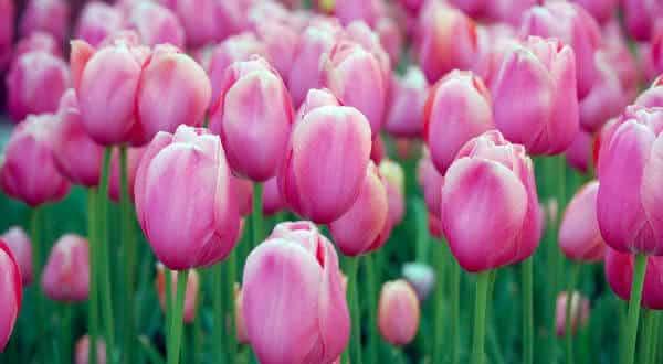 tulipa entre as flores mais bonitas do mundo