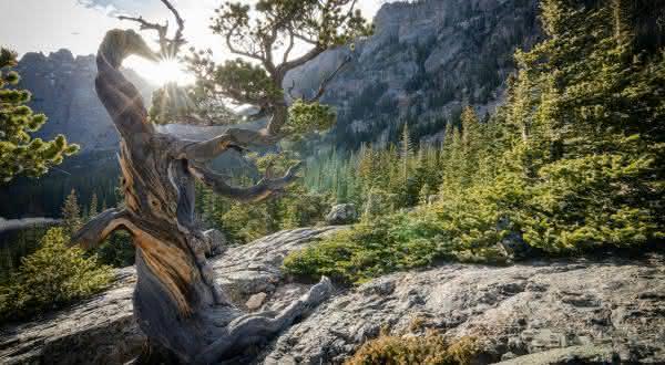 Rocky Mountain Bristlecone Pine entre as arvores mais antigas do mundo