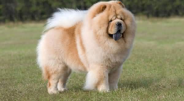 chow chow entre as racas de caes menos inteligentes do mundo