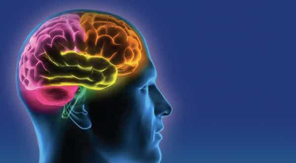cerebro entre os maiores orgaos do corpo humano